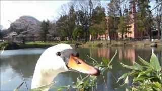 かわいい白鳥さん.
