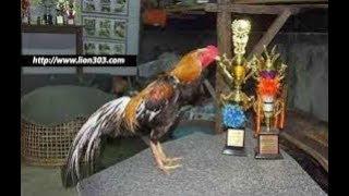 Ciri – Ciri Kaki Ayam Bangkok Jantan Yang Sering Juara Pada Judi Sabung Ayam
