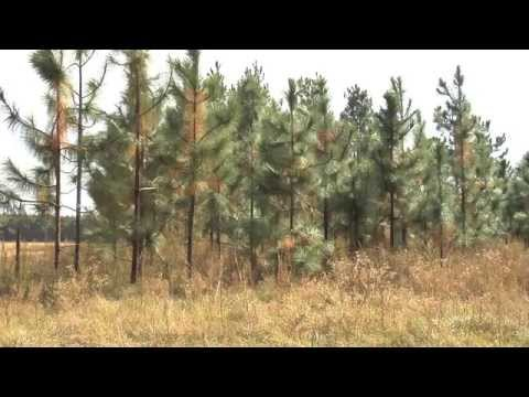 Pine Straw Business Is Hard Work, But Profitable For Producers
