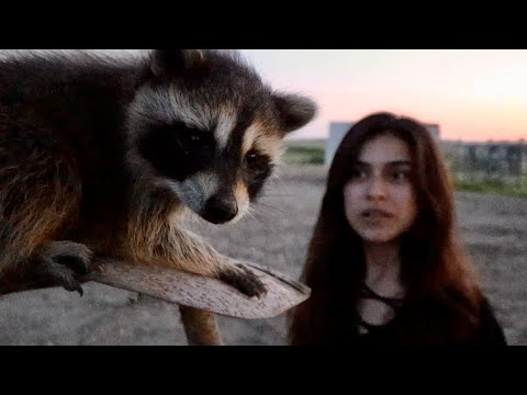 we-have-a-pet-raccoon!-(adorable)