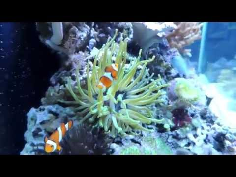 New Corals And Condylactis Anemone  11 11 2014