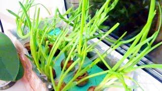 Как вырастить Зеленый лук на подоконнике в воде видео рецепт