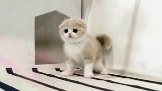 These Cute Little Scottish Fold Kittens Will Bring Joy In Your Life