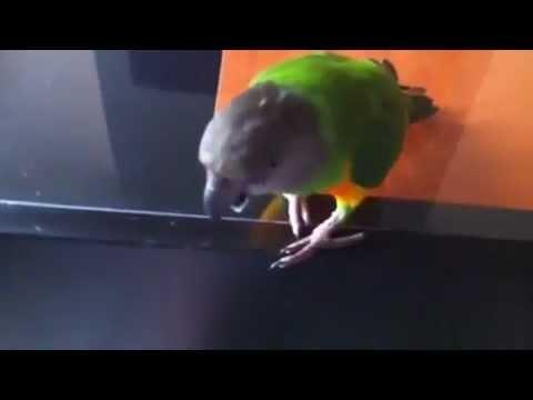 Parrot Facts - Senegal Parrot Sounds