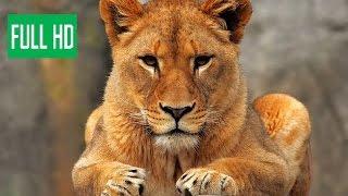 Последняя львица (Документальные фильмы National Geographic HD)  борьба диких животных