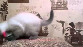 Кот породы Скоттиш фолд (Шотландская вислоухая) Москва