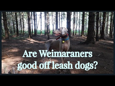 Are Weimaraners good off leash dogs?