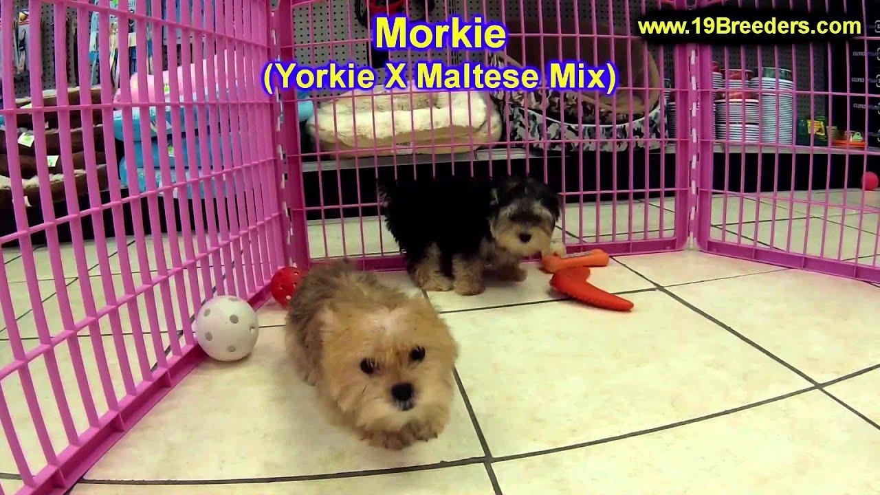 Morkie, Puppies For Sale, In, Bellevue, Washington, WA, Yakima, Kitsap,  Thurston, Clark, Spokane, Sn