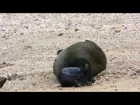 Birth of a Hawaiian Monk Seal Pup (2015)