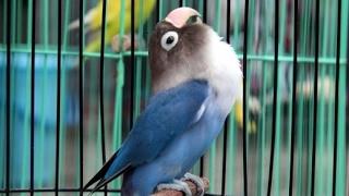 Love bird Ngekek Panjang