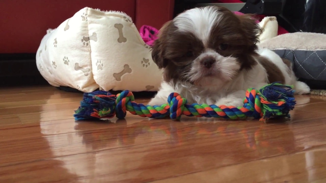 Shih Tzu Molly 8 Weeks Old Red And White Puppy With A Cute Liver