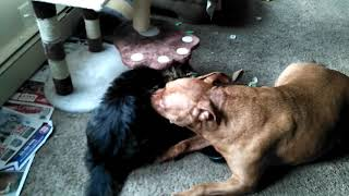 Maine coon cat attacks 80 lb. Pit bull