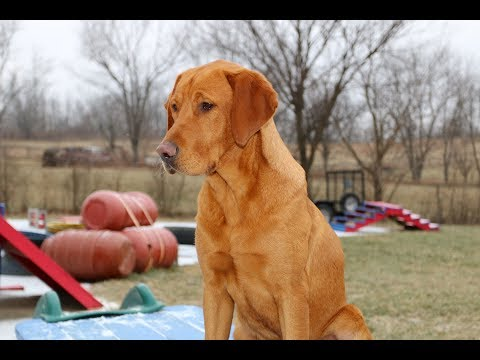 Fox Red Labrador Retriever Training Example