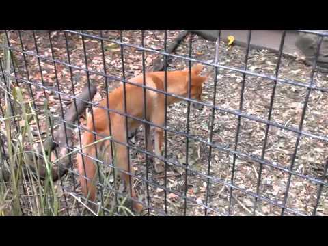 Dingo's in Lone Pine Koala Sanctuary