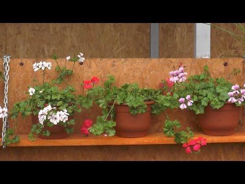 Герань плющелистная: выращивание и уход
