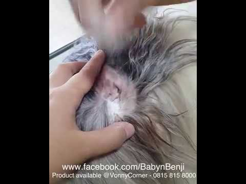 Ear Plucking using Ear Powder Shih Tzu Routine Grooming Health Care