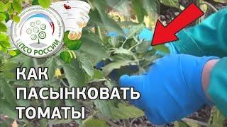 Как пасынковать томаты. Формирование растений.(Смотрите очередной ролик проекта