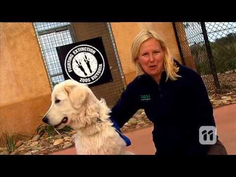 How Maremma Dog Guard Bandicoots