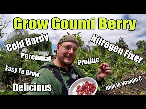 Grow Goumi Berry| A Delicious Sweet Berry That Fixes Nitrogen Into The Soil!