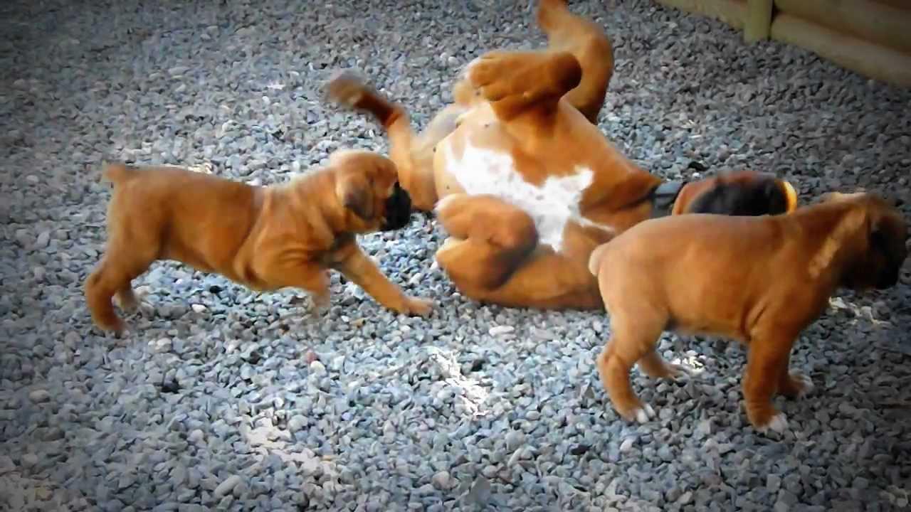 Préférence chiots bébé boxer (première portée) - YouTube VS96