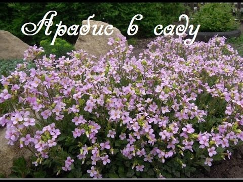 Цветы арабис посадка и уход фото