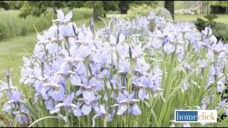 How to Grow Bearded Iris in your Garden