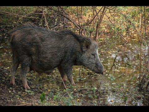 Bán lợn mán tại Hà Nội