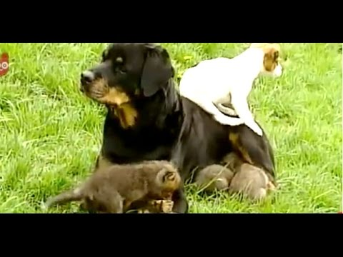 Rottweiler adopts abandoned fox cubs!