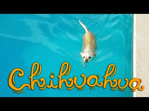 *´¨` Chihuahua nadando en una piscina (∪ ◡ ∪) Chihuahua swimming in a pool ´¨`*