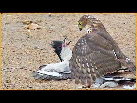 Thumbnail: Hawk Tries to Kill Cuckoo Bird
