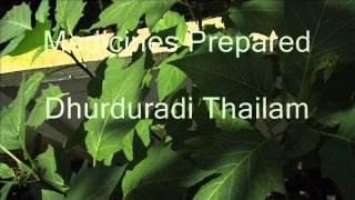 Healing Herbs - Datura Stramonium (Ummathu)