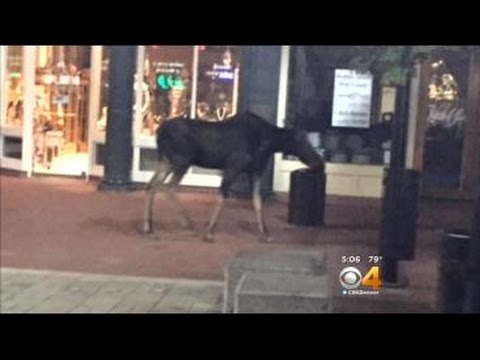 Moose Takes Casual Stroll Down Boulder's Pearl Street Mall