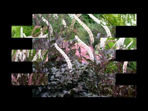 Цветок клопогон: фото, сорта, выращивание, посадка и уход