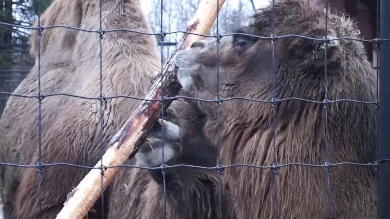SECRET LIFE OF BACTARIAN CAMELS