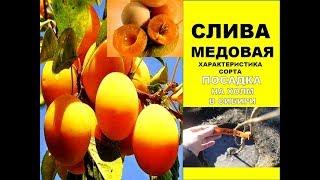 Слива в Сибири/посадка 🌷Сажаем Сливу сорта Медовая на Холм весной 🌷Характеристика сорта сливы