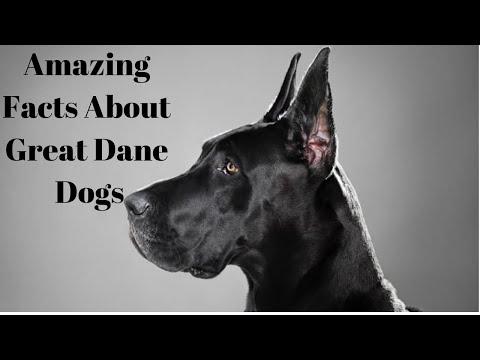 Great Dane Dog Breeds Information, Origin, History, Appearance, Temperament, Health