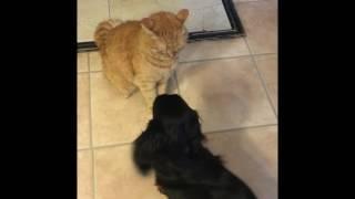 Моя длинношерстная такса Таисочка и кошечка Марго дружно играют.