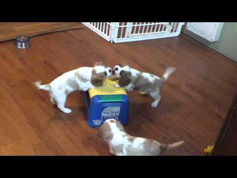 Cavalier King Charles spaniel puppy Battle of the Stool