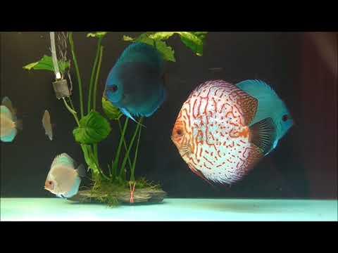 Discus fish - cobalt blue