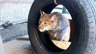 Внезапное нападение рыси на кота породы мейн-кун / A lynx is hunting a domestic cat