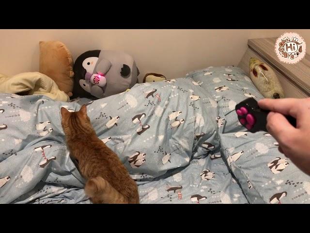 【巧克力】『橘子冰的日常』- 愛玩雷射筆的貓!