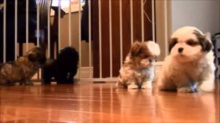 Shih Tzu Puppies For Sale December 16, 2014