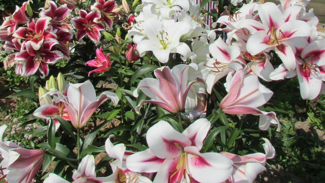 Уход за лилиями во время и после цветения