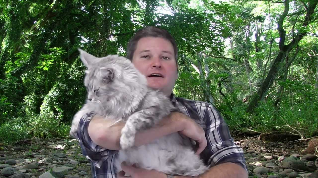Maine Coon Cat Breed - The Legal-to-Own Wildcat - YouTube