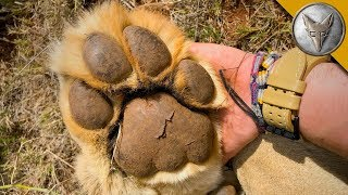 Would You Hold PAWS with a LION?!
