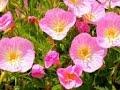 Цветы в городе,  кусочек прерии, почти мавританский газон