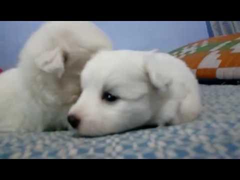 New born pomeranian  puppies  part 2