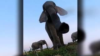 Caught On Camera: Naughty Elephant Drinks Toilet Water