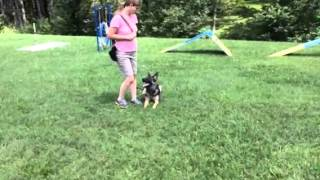 "German Shepherd ""oleisa"" Obedience Protection Trained For Sale"