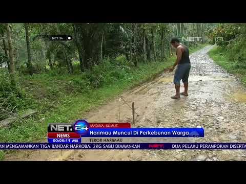 Teror Harimau di Perkebunan Warga Madina, Sumut NET24